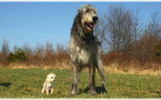 Крупные собаки породы название. Самая большая среди всех существующих в мире собака, кто она