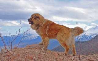 Самые большие собаки: породы. Крупные породы собак. Описания, названия и фото собак крупных пород