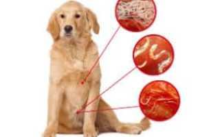 Глисты в сердце у собак: симптомы и лечение. Глисты у собаки: симптомы, профилактика и лечение