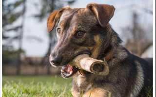 Что делать если собака проглотила цепочку. Что делать, если у собаки застряла кость в кишечнике