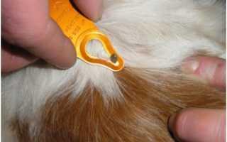 Клещи у собак: что делать при обнаружении, лечение. Клещ у собаки: фото, симптомы, лечение
