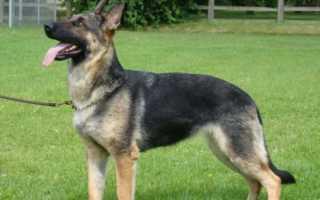 Клички для собак девочек овчарок популярные. Как назвать щенка‑мальчика немецкой овчарки