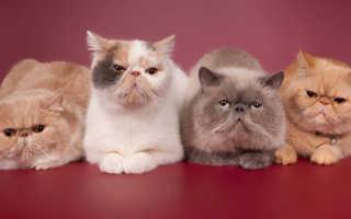 Разведение породистых кошек как прибыльный бизнес. Советы по разведению кошек
