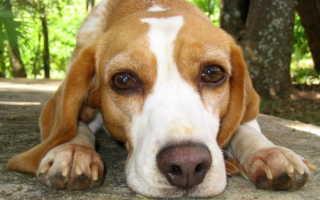 Осложнения и последствия пироплазмоза у собак. Пироплазмоз у собак: симптомы, лечение, препараты