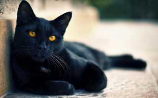 Кошка черная. Породы и характерные особенности. Отзыв: Черно белые коты характер