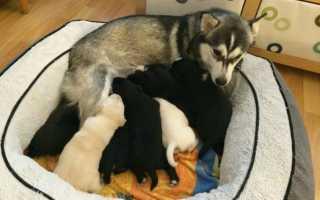 Застой молока у собаки после родов. Мастит у собак: как проявляется, что делать, как лечить