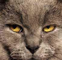 Почему у кошек могут слезиться глаза. Почему слезятся глаза у британских кошек