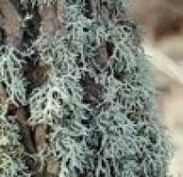 Ароматы с запахом мха. Дубовый мох в парфюмерии. Нота «Дубовый мох» в парфюмери
