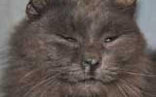 Бывает ли у кошек насморк. Ринит у кошек: признаки, диагностика, лечение, профилактика