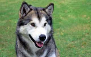 Собака аляскинский маламут. Аляскинский маламут: описание и характеристика породы