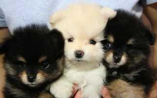 Как называется порода пушистой собаки. Собаки пушистых пород с кучерявой шерстью
