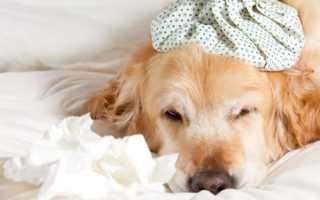 Собака кашляет слизью. Собака кашляет, как будто подавилась: что делать и как помочь питомцу