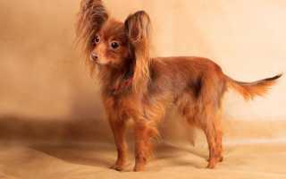 Той терьер — маленькая собака с сильным характером. Длинношерстный тойтерьер: описание породы
