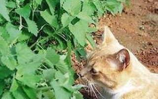 Кошачья мята – для чего она нужна и какой от неё эффект. Для чего кошкам кошачья мята