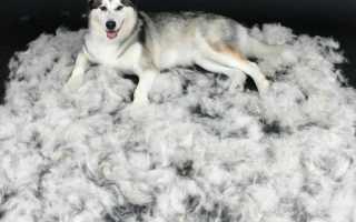 Что делать если собака постоянно линяет. Сколько длится и когда начинается линька у собак
