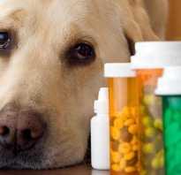 Щенок алабай писается во сне. Собака часто писает, цистит: симптомы, лечение и профилактика