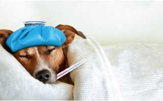 Какой должна быть температура тела у собак. Что делать если у собаки температура