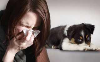 Собаки без аллергии маленькие. Какие собаки не вызывают аллергию: выбери себе друга
